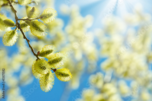Flowering branch of willow on a background of the sunny sky