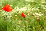 Fototapeta Kwiaty - Maki i kwiaty na dzikiej łące.