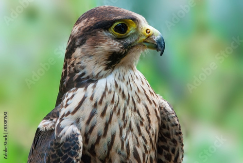 Peregrine falcon immature close-up Poster