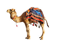Camel In A Colorful Horse-clot...