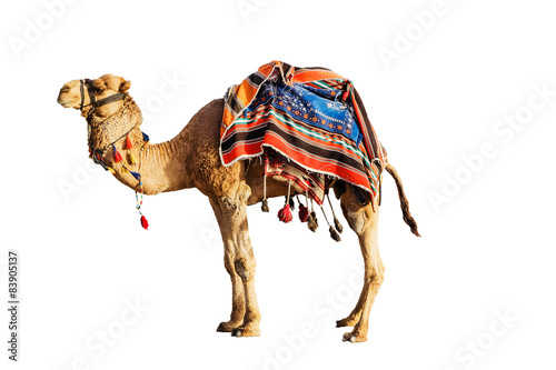 Fotografia Camel in a colorful horse-cloth on a white background