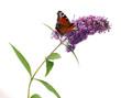Buddleja davidii - Butterfly bush on a white background