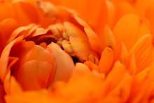 Orange Ranunculus Opening