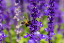 A Bee Collect Nectar From Blue Sage Flower