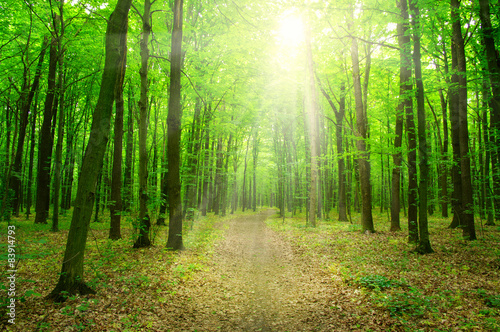 sunlight forest #83914793