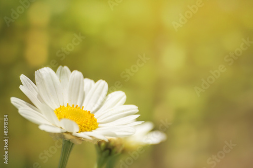 Papiers peints Marguerites white marguerite in spring, green nature background