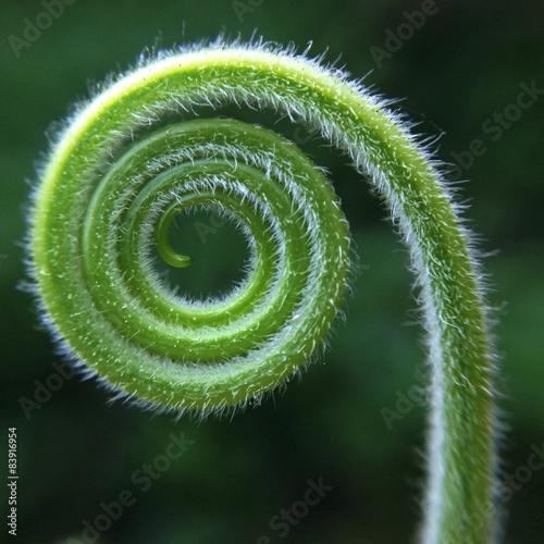 Foto auf Leinwand Spirale macro green leaf