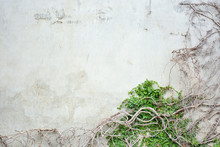 Vine Growing On Concrete Wall