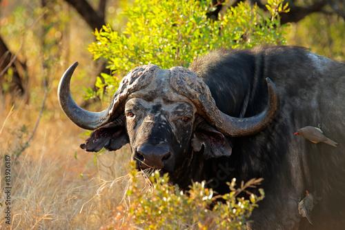 Staande foto Buffel Portrait of an African or Cape buffalo, South Africa