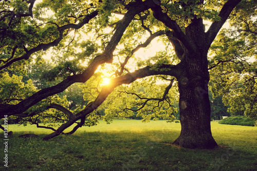 Old big tree on the summer park Canvas Print