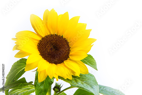 In de dag Zonnebloem Sonnenblume, Helianthus annuus