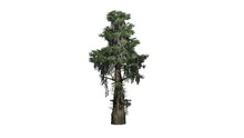 Bald Cypress Tree  - Separated...