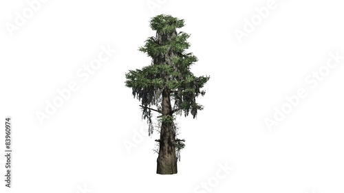 Fotografie, Tablou bald cypress tree  - separated on white background