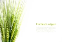 Bouquet Of Green Barley Ears I...