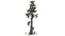 Bald Cypress - Separated On White Background