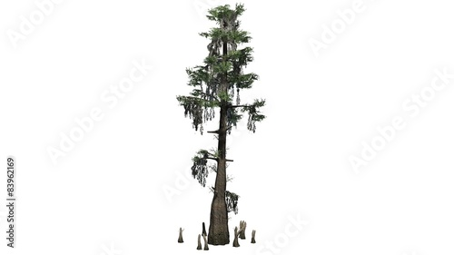 bald cypress - separated on white background Wallpaper Mural
