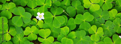 Green clover leaves background .