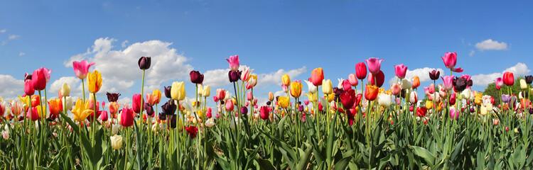Panel Szklany Tulipany Tulpenfeld Panorama - verschiedene Sorten