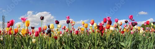 Deurstickers Tulp Tulpenfeld Panorama - verschiedene Sorten