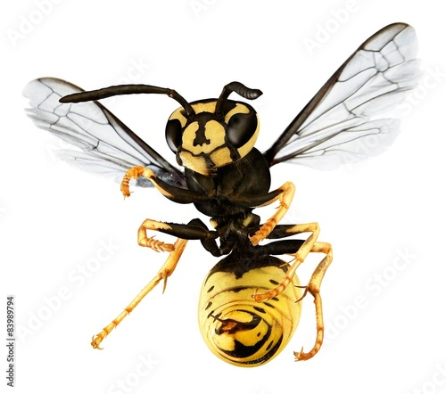hornet isolated on a white back ground Tablou Canvas