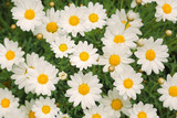 Magic sunny daisy flowers background