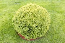 Spherical Green Bush