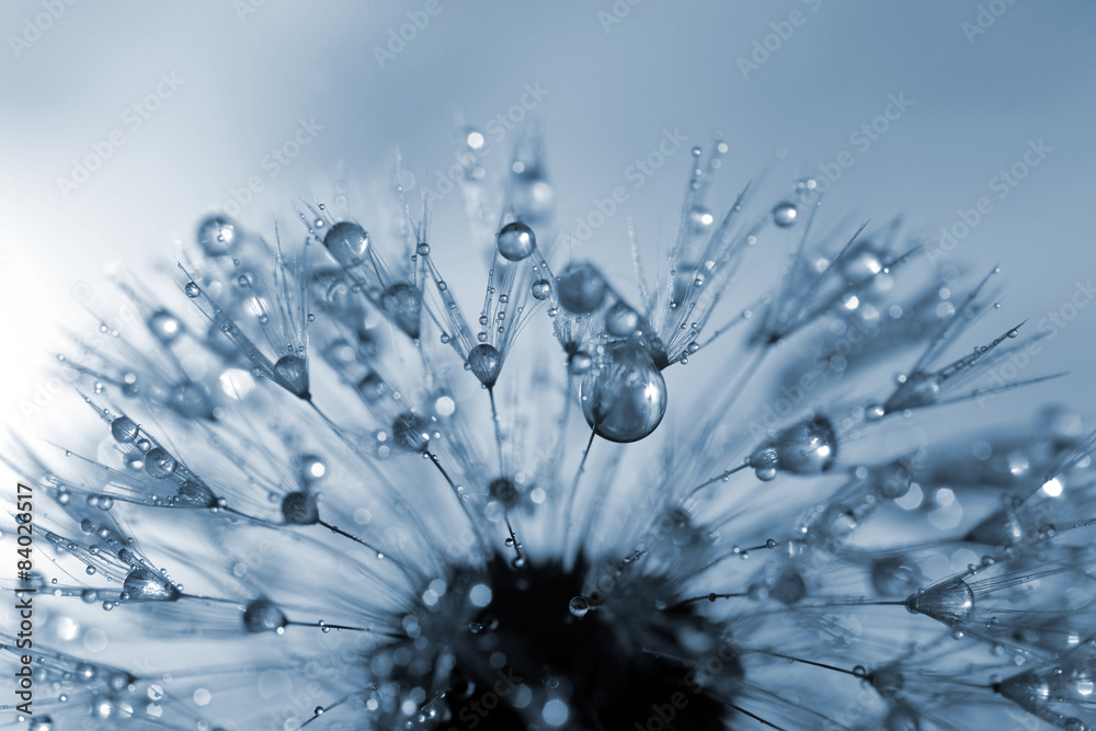 Fototapeta dewy dandelion flower close up