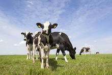 Black And White Cows In Meadow In The Netherlands With Blue Sky
