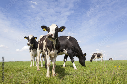 Photo Stands Cow black and white cows in meadow in the netherlands with blue sky