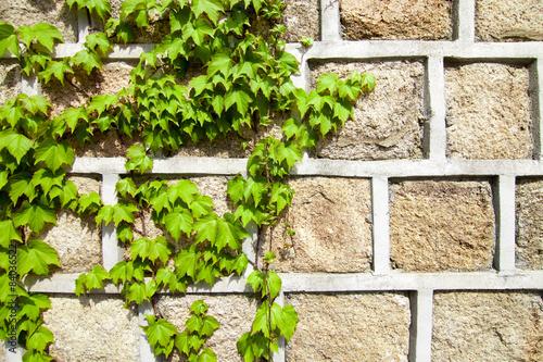 Foto op Aluminium Op straat Green ivy climbing a stone wall