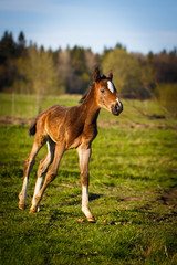red foal
