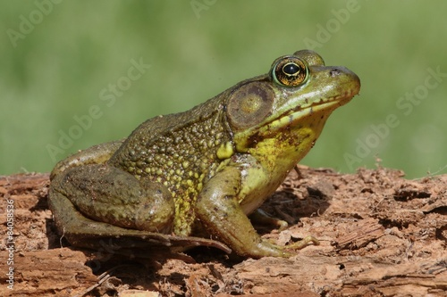 Tuinposter Kikker Green Frog (Rana clamitans) on a log