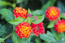 Detail Of A Lantana Flower