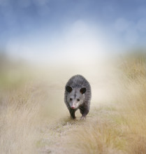 Opossum Walking