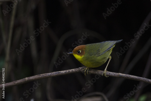 Fotografia  Bird (Chestnut-headed Tesia) on the perch ,chiangmai, Thailand