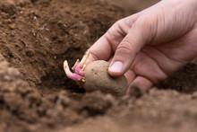 Hand Planting Potato Tuber Int...