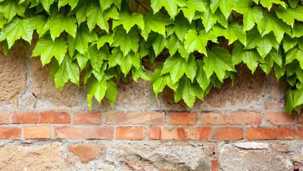 FototapetaOld brick wall with green ivy