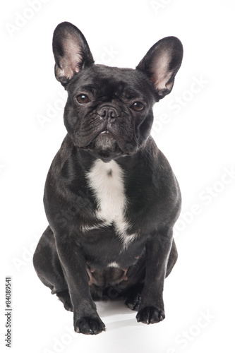 Tuinposter Franse bulldog Cute black and white French bulldog isolated on a white background