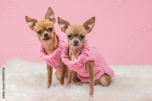 Photo Dressed cute chihuahua dogs in pink knitted sweaters and at a pink background