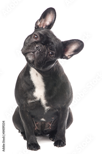Tuinposter Franse bulldog Cute black and white French bulldog isolated at a white background