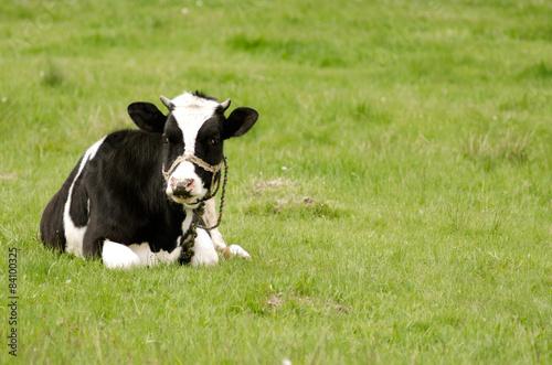 Poster de jardin Vache Cow on the grass