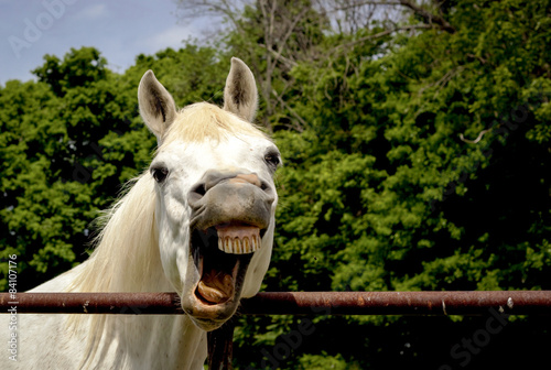 Silly Arabian horse with mouth open exposing crooked smile and teeth