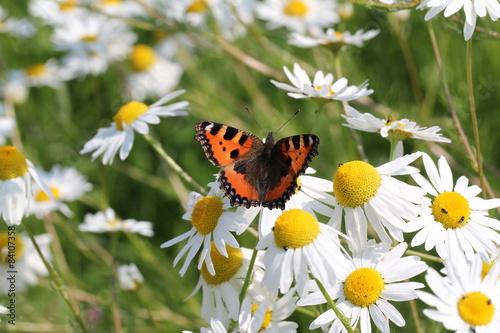 motyl-siedzi-na-kwiatach