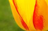 Żółty tulipan w przybliżeniu