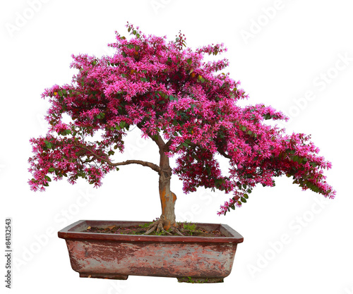 Stickers pour porte Bonsai Red camwood bonsai