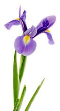 Mauve, Blue Iris Flower, Close Up, Isolated, White Background