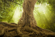 canvas print picture - big tree roots and sunbeam in a green forest