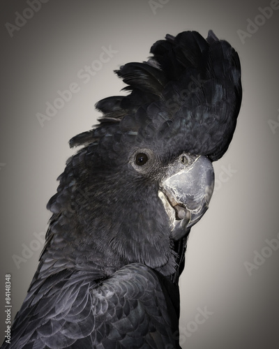 Photo  a portrait of a male red tailed  black cockatoo
