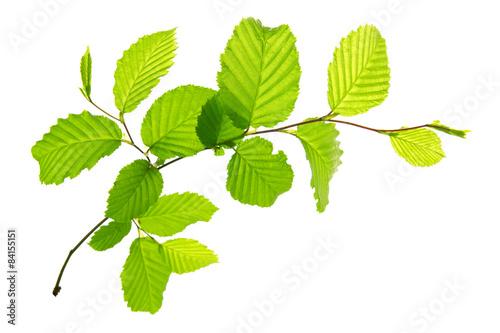Carta da parati Fresh Green Leaves isolated.