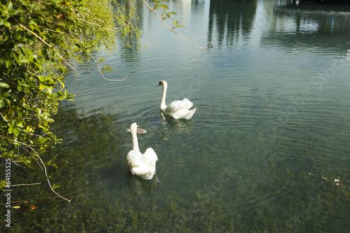 Foto op Canvas Zwaan Swans in a pond